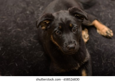 cute adorable ten week old black and tan German shepherd puppy dog with floppy ears lying on a black fleecy mat.