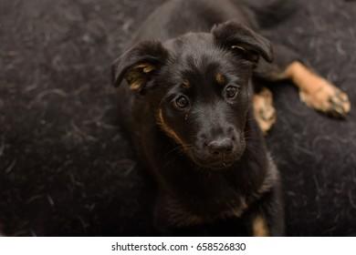 cute adorable ten week old black and tan German shepherd puppy dog with floppy ears lying on a black fleecy mat.