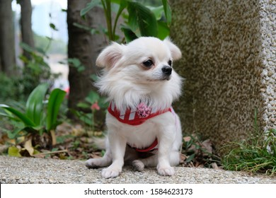 cute and adorable white long-hair chihuahua puppy dog wearing sailor suit sitting on floor , outdoor scene, adverting