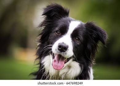 Cute Adorable Young Black And White Border Collie Female Portrait With Green Bokeh Background