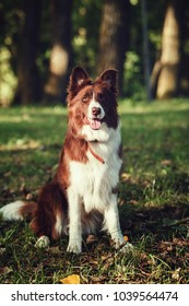 Cute adorable young border collie female sitting on the grass