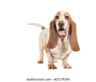 Cute adult basset hound standing isolated on a white background
