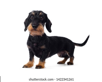 Cute adult black tan wirehaire Dachshund dog, standing side ways. Looking cheeky straight ahead beside lens with brown eyes. Isolated on white background.