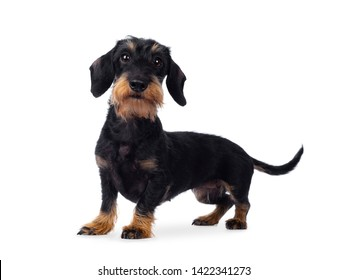 Cute adult black tan wirehaire Dachshund dog, standing side ways. Looking cheeky to the lens with brown eyes. Isolated on white background.