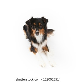 Cute adult black tri Miniature Australian Shepherd isolated on white