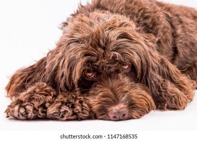 cute adult cockerpoo  dog