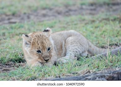 Cute African lion cub  in the grass in Masai Mara, Kenya