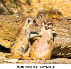 Cute African meerkat poking another meerkat, pointing at another meerkat