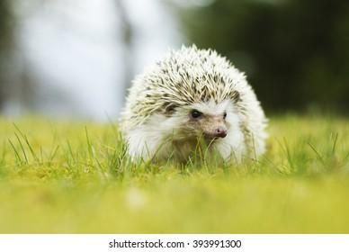 cute african pygmy hedgehog in spring in garden