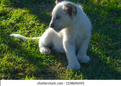 Cute African white lion cubs in Rhino and Lion nature reserve