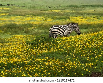 Cute African zebra standing in yellow Burr Marigold flower field at Ngorongoro Crater, Arusha Region, Tanzania, East Africa