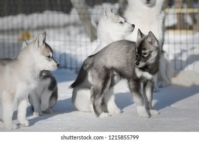 Agouti Husky Images Stock Photos Vectors Shutterstock