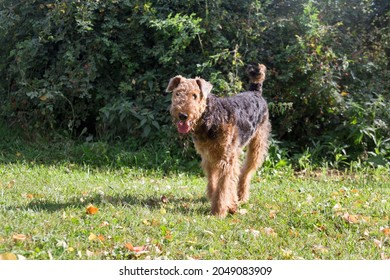 Cute airedale terrier is standing on a green grass in the autumn park and looking at the camera. Pet animals. Purebred dog.