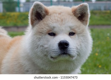 Cute akita inu close up. Akita ken or japanese akita.
