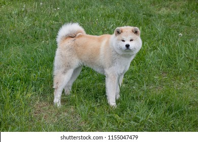 Cute akita inu is looking at the camera. Akita ken or japanese akita.