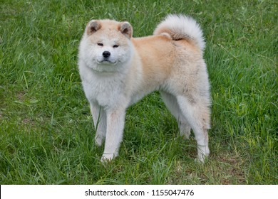 Cute akita inu is standing on a green meadow. Akita ken or japanese akita.