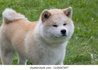 Cute akita inu is standing on a blooming meadow. Akita ken or japanese akita.