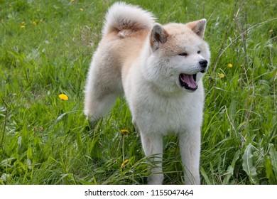 Cute akita inu yawning on a spring meadow. Akita ken or japanese akita.