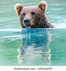 Cute Alaskan brown bear swimming in glacial water, and reflection on the surface of his head