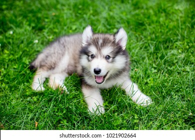 Cute alaskan malamute puppy in the grass