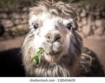 Cute Alpaca Face