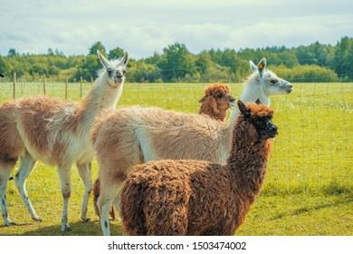 Cute alpacas in the farm