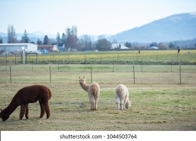 Cute Alpacas Grazing on Winter Grass