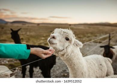 Cute alpacas on the farm