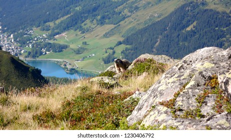 cute alpine marmot greets hikers outside of ist burrow in the Swiss Alps in summer with the town of Davos and the lake of Davos in the valley in the background
