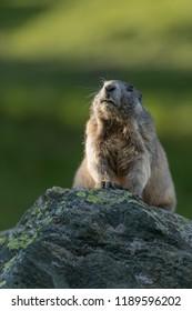 cute alpine marmot, alpine marmot on the rock