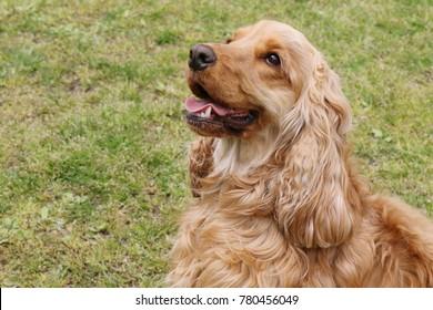 Cute American Cocker Spaniel's Portrait