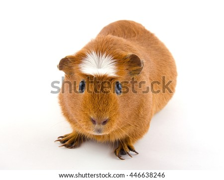 Cute American crested guinea pig (isolated on white)