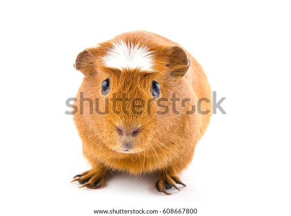 Cute American crested guinea pig (isolated on a white background)