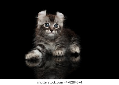 Cute American Curl Kitten with Twisted Ears Lying on Isolated Black Background