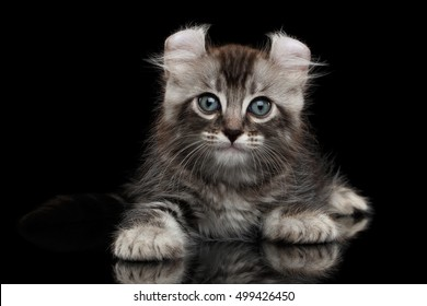 Cute American Curl Kitten with Twisted Ears Lying on Isolated Black Background with reflection