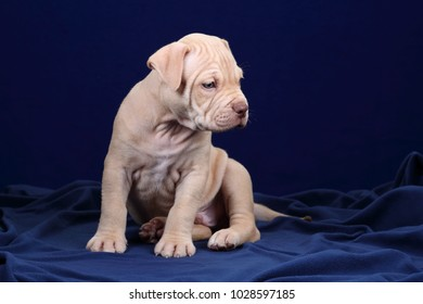 Cute American Pit Bull Terrier puppy on a blue background