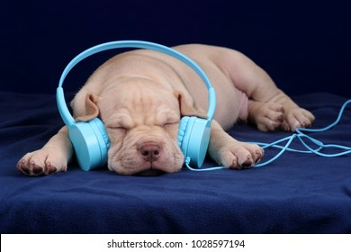 Cute American Pit Bull Terrier puppy with headphones