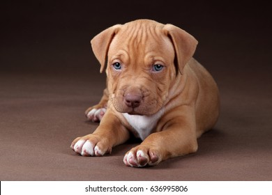 Pit Bull Puppy Images, Stock Photos & Vectors | Shutterstock