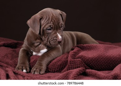Cute American Pit Bull Terrier puppy on a brown background