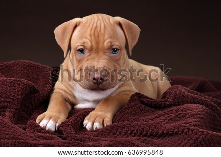 Cute American Pit Bull Terrier Puppy Stock Photo Edit Now