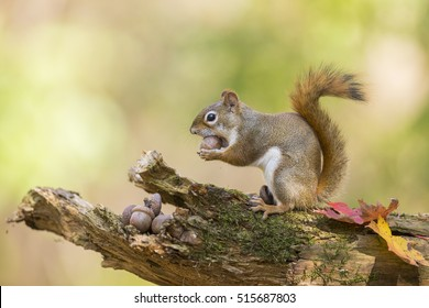 Cute American red squirrel in autumn golden light eating acorn