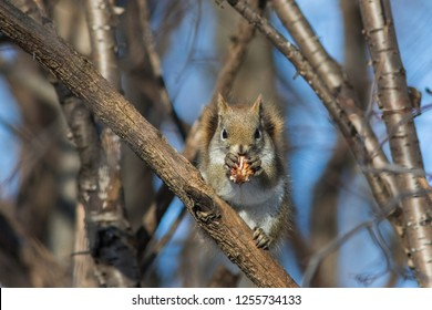 Cute American red squirrel with nut in winter