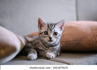 Cute American short hair cat cub