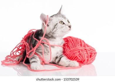 Cute american Short hair cat with a Pink ball of yarn on white background