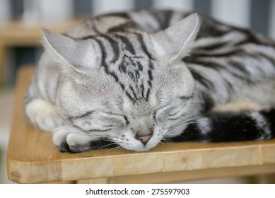 cute american short hair cat sleeping