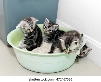 Cute American short hair cat kitten with copy space