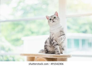 Cute American short hair cat sitting on cat tower
