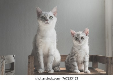 Cute American short hair cats sitting on old wood shelf under light from a window