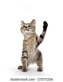 cute American shorthair tabby kitten on white background