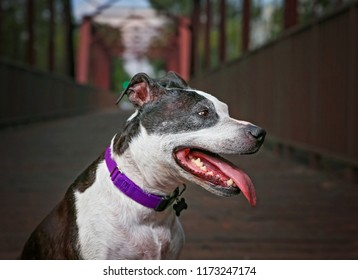 cute american staffordshire terrier on a bridge